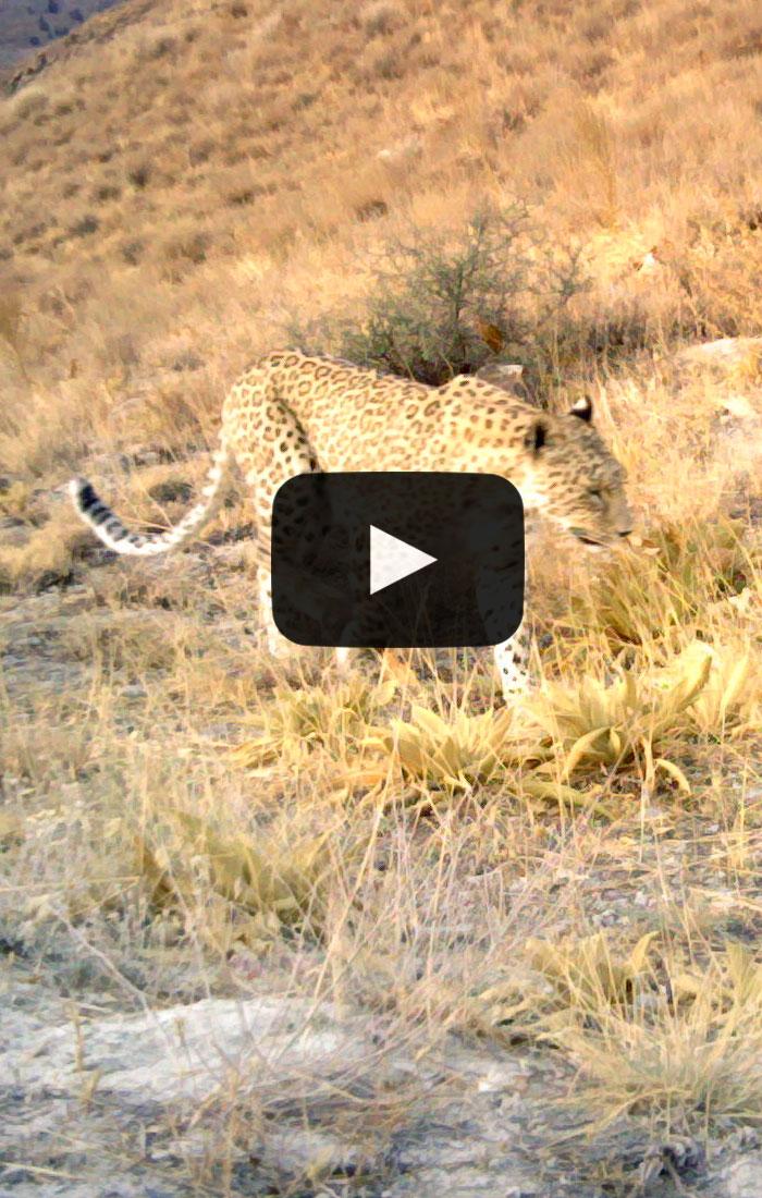 Leopard-Marpich