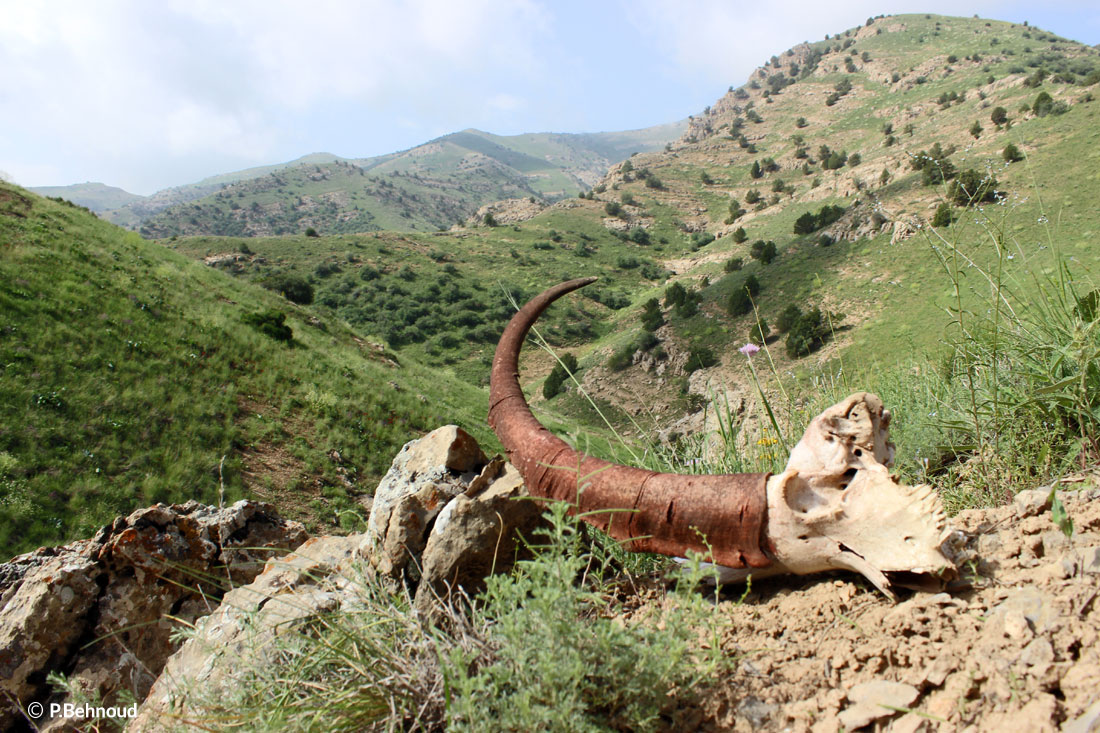 Persian Ibex