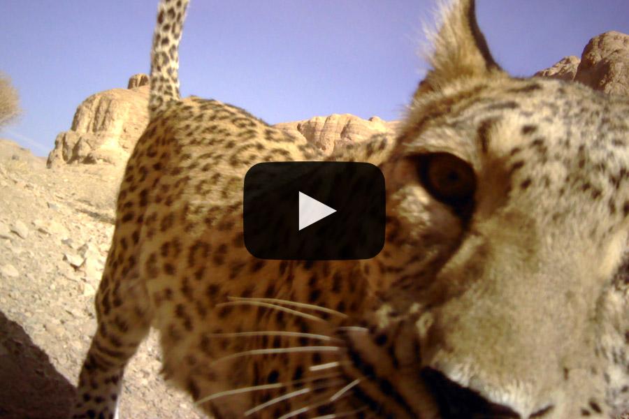 Persian LeopardBafq