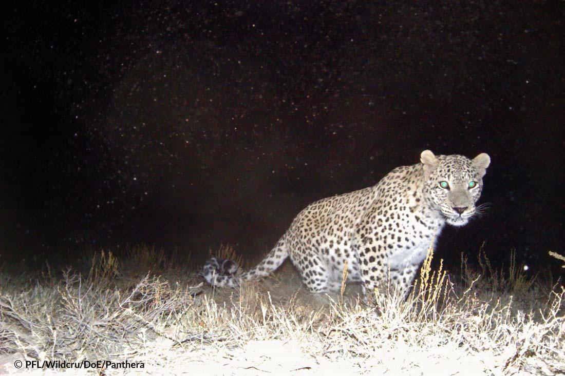 Persian Leopard Sarigol