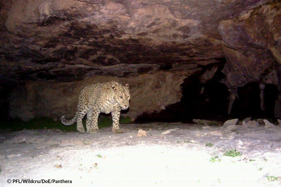 Persian Leopard in Turkmenistan