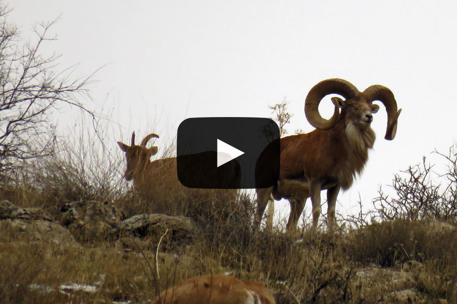 Urial Sheep