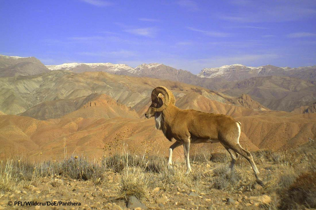 Urial Wild Sheep Male