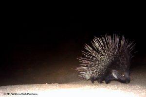 porcupine bafq