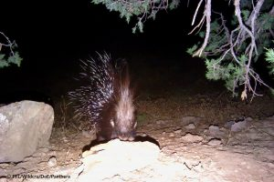 porcupine northeast Iran