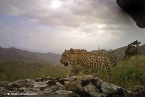 Borna leopard