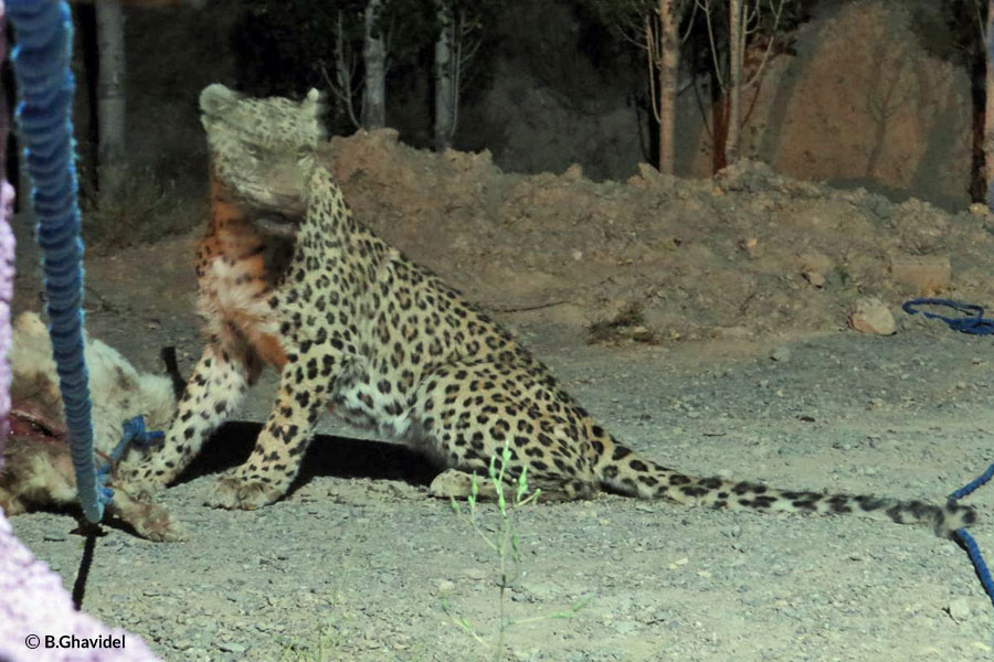 Conflict Leopard