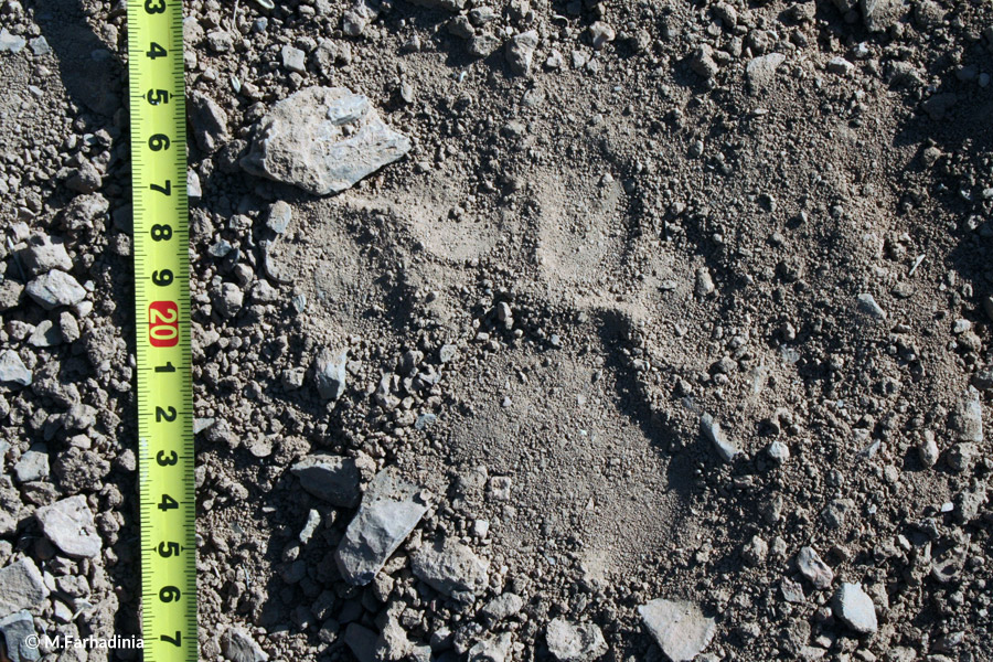 Footprint Leopard