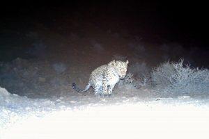 Leopard signing behavior