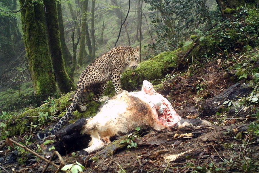 Leopards vs. cattle ranchers