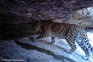 Persian Leopard Male