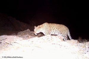 Salouk Leopard