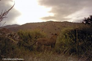 Tandoureh Leopard