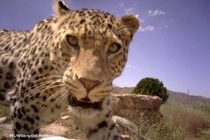 Tandoureh leopards