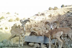 Urial Sheep