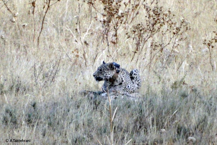 leopards collar
