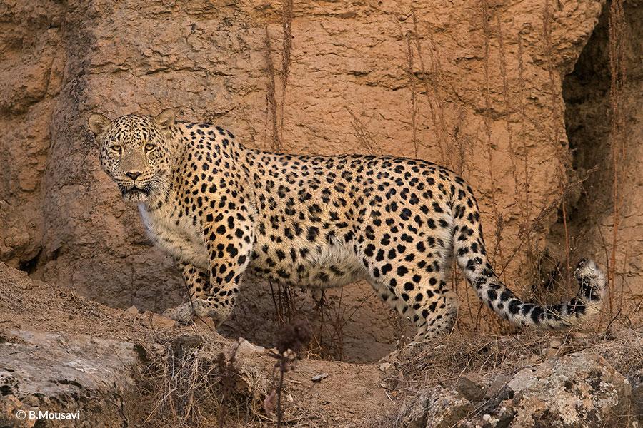 [Image: Persian-Leopard-Borna-1.jpg]