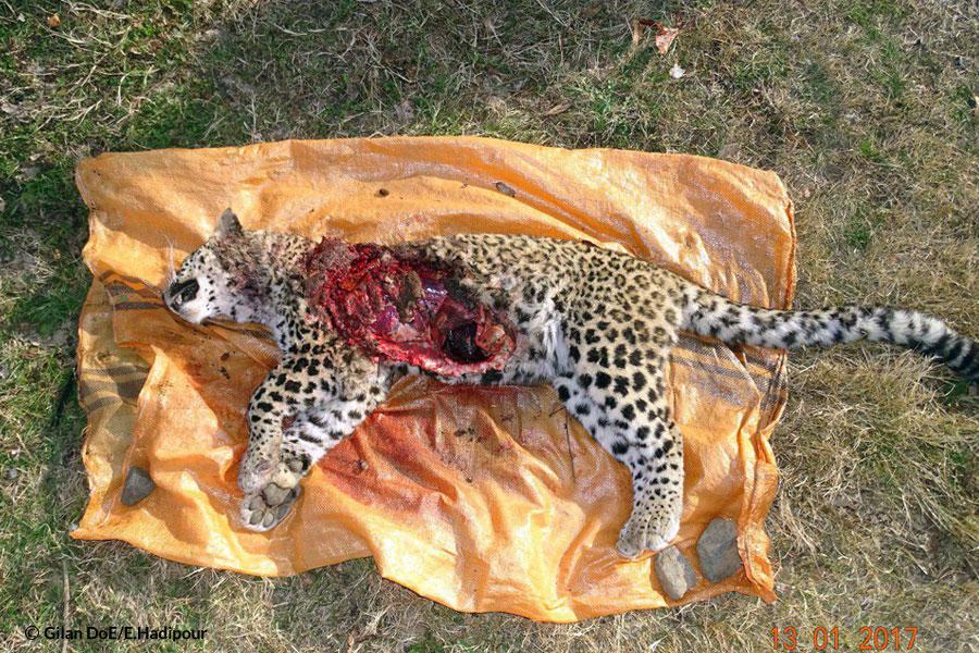 Famale Leopard Dead