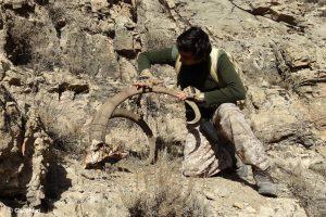 Ibex leopard Kills
