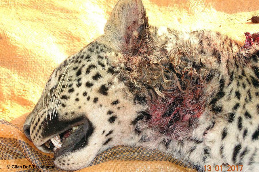leopard Dead