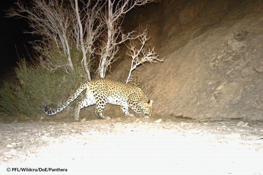 leopards in a dryland