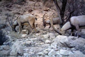 Bezoar ibexs