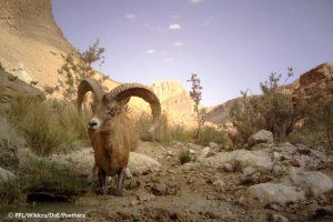 Kerman Sheep