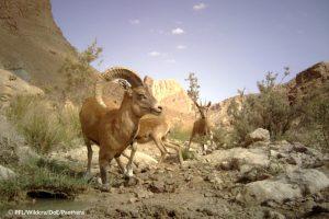 Kerman Sheep & Bezoar ibex