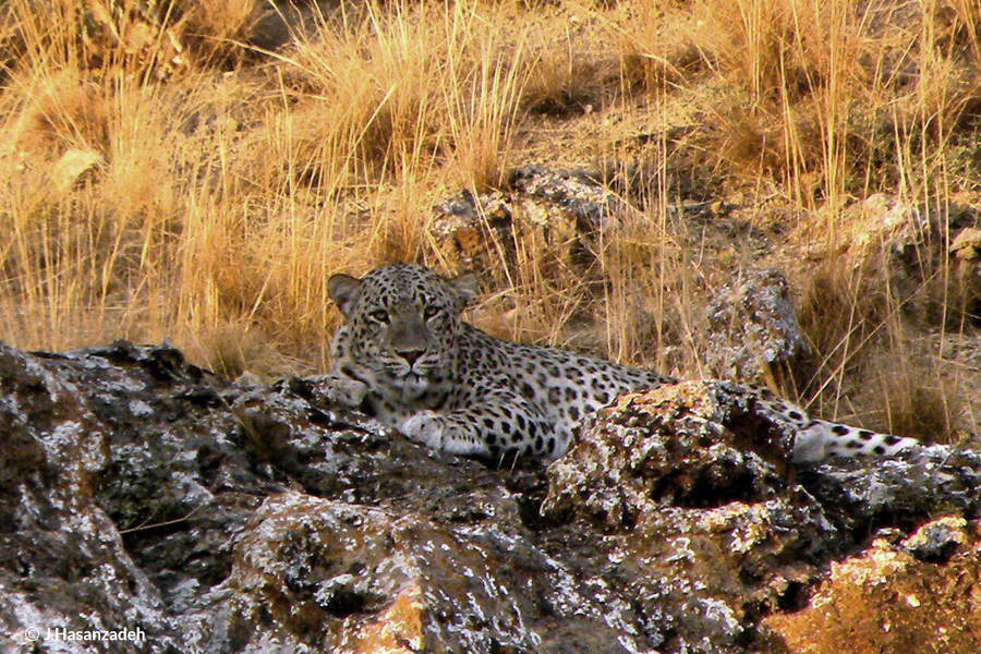 Leopard predation in Golestan