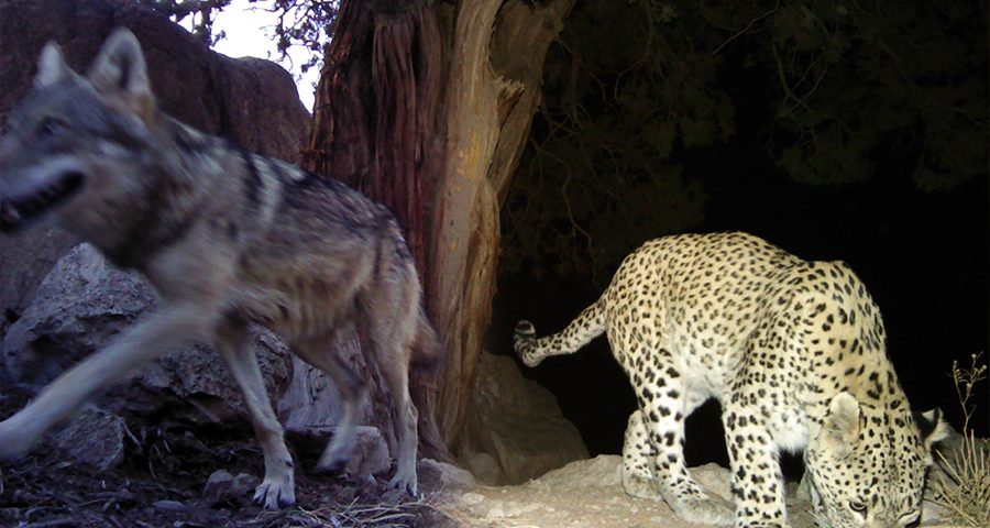 Leopard's wolves and humans