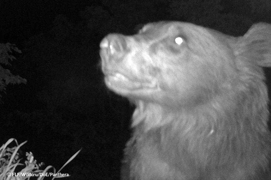 Brown bear Mazandaran