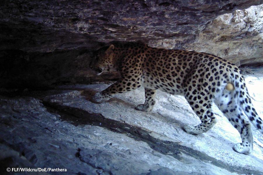 Leopard-found-dead
