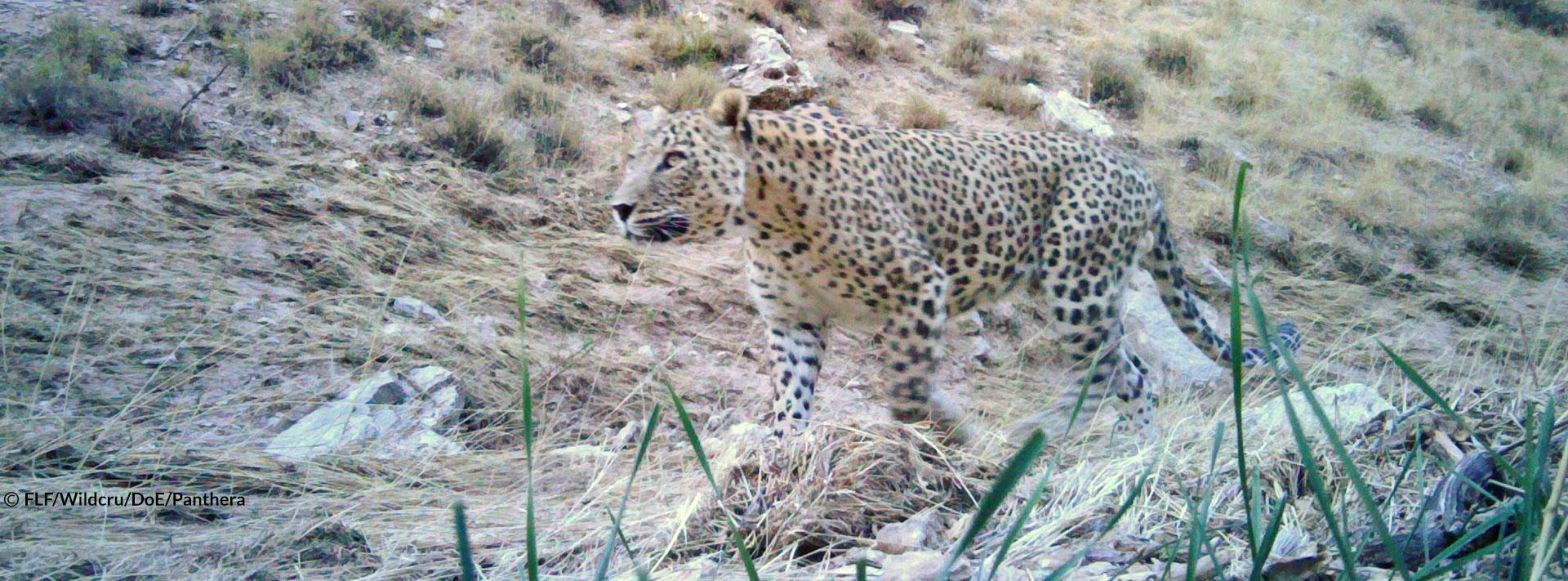 Persian Leopard Bardia