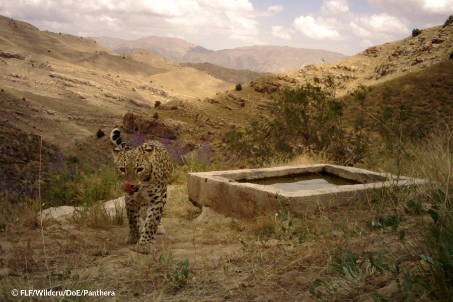 Persian-Leopard