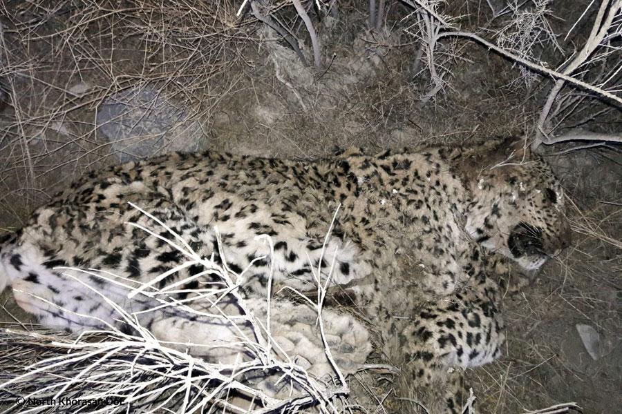 An adult leopard found dead in Sarigol