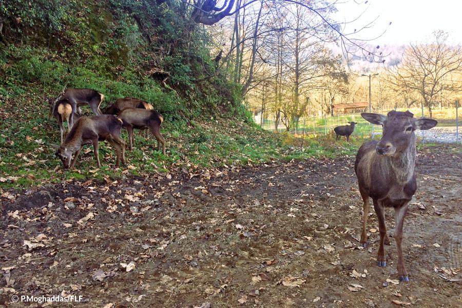 A big stride for deer restoration in northern Iran